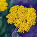 Жёлтый летний цветок (тысячелистник таволговый) крупным планом на фиолетовом фоне