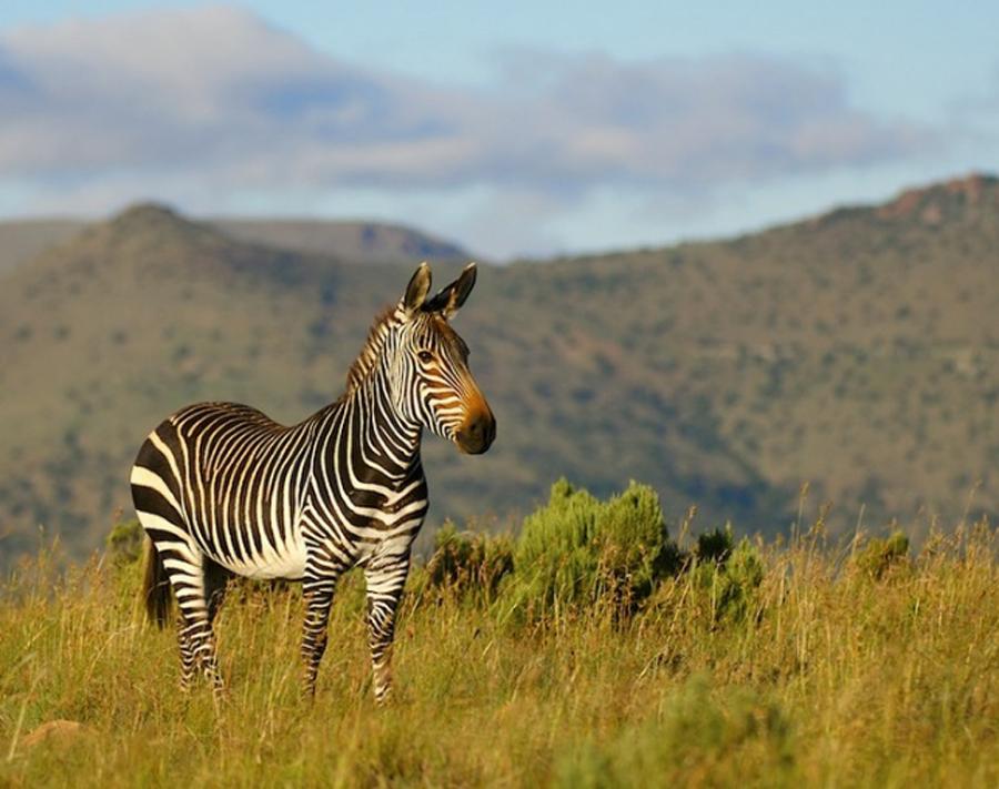 Зебра в дикой природе
