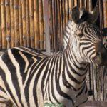 Добродушный взгляд зебры из-за ограждения в зоопарке
