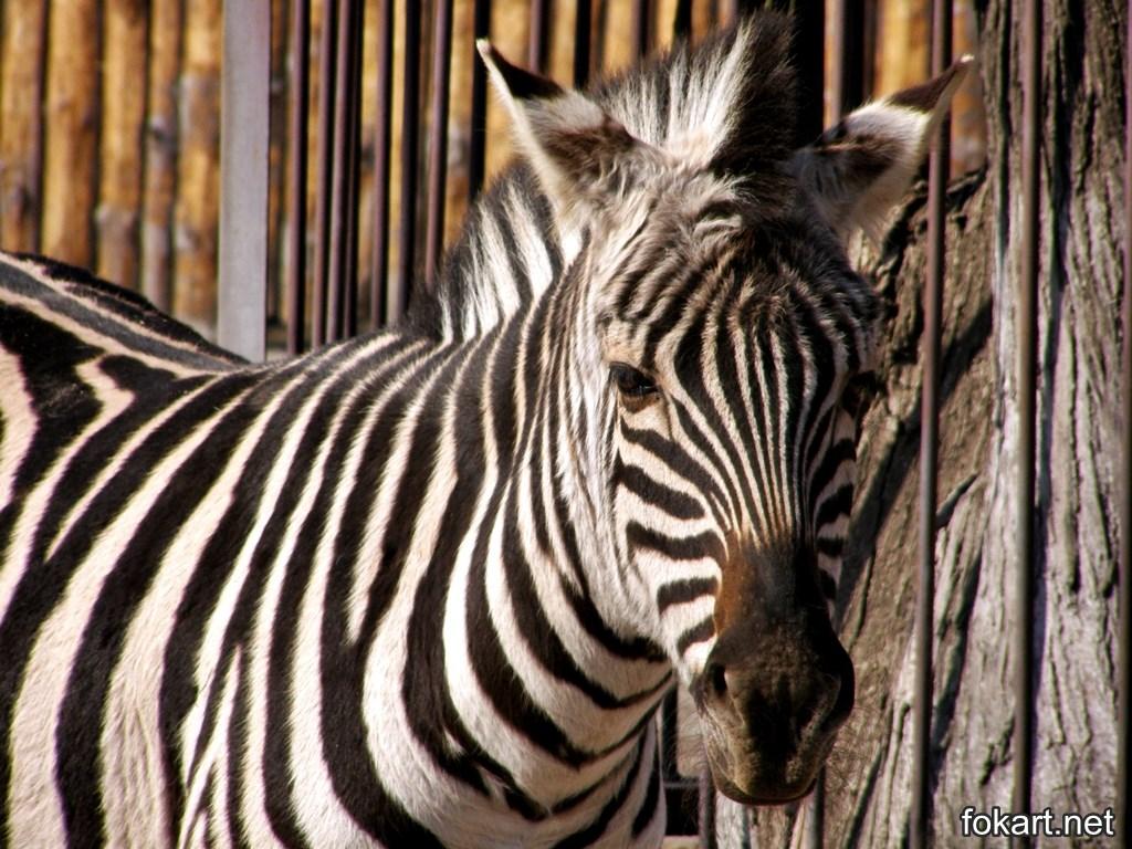 Зебра в вольере зоопарка. Крупный план.