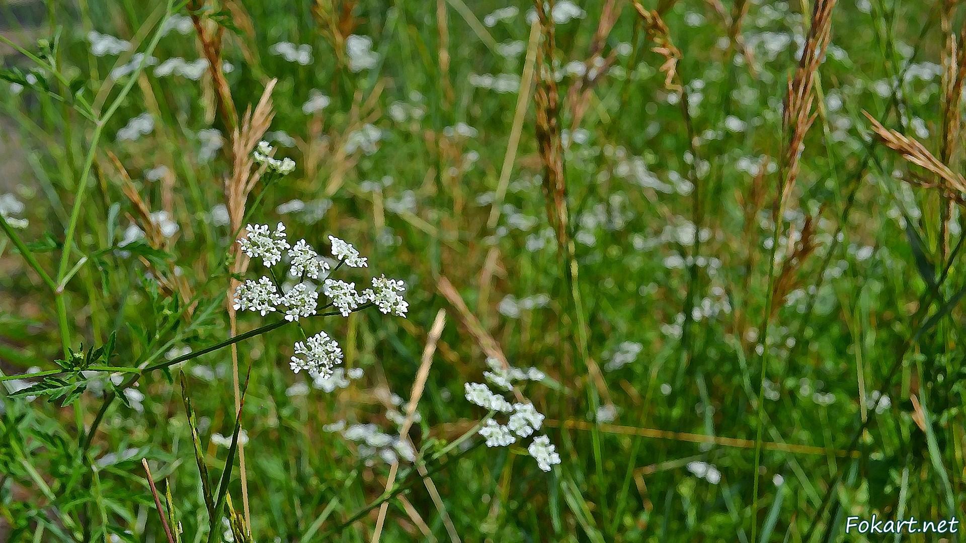Цветущие травы июня