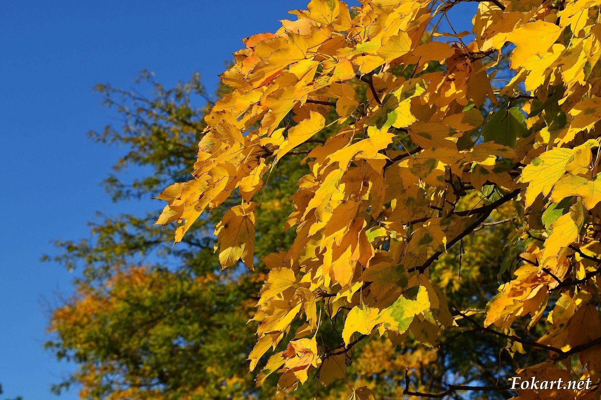 Осенняя ветка клёна с золотыми листьями.