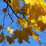 Золотые листья клёна на фоне синего неба