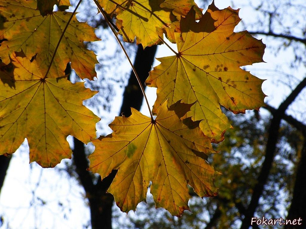 Золотые листья осеннего клёна, просвеченные солнцем.
