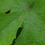 Июньские дождинки на листе винограда