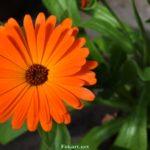 Оранжевый цветок махровой календулы.