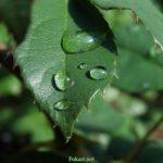 Крупные капли воды на листочке розы после летнего утреннего дождя