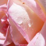 Крупные капли воды на светлой розе