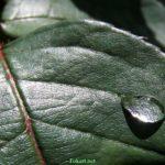 Капля воды на зелёном листке розы с бликами солнечного света. Фото-обои.