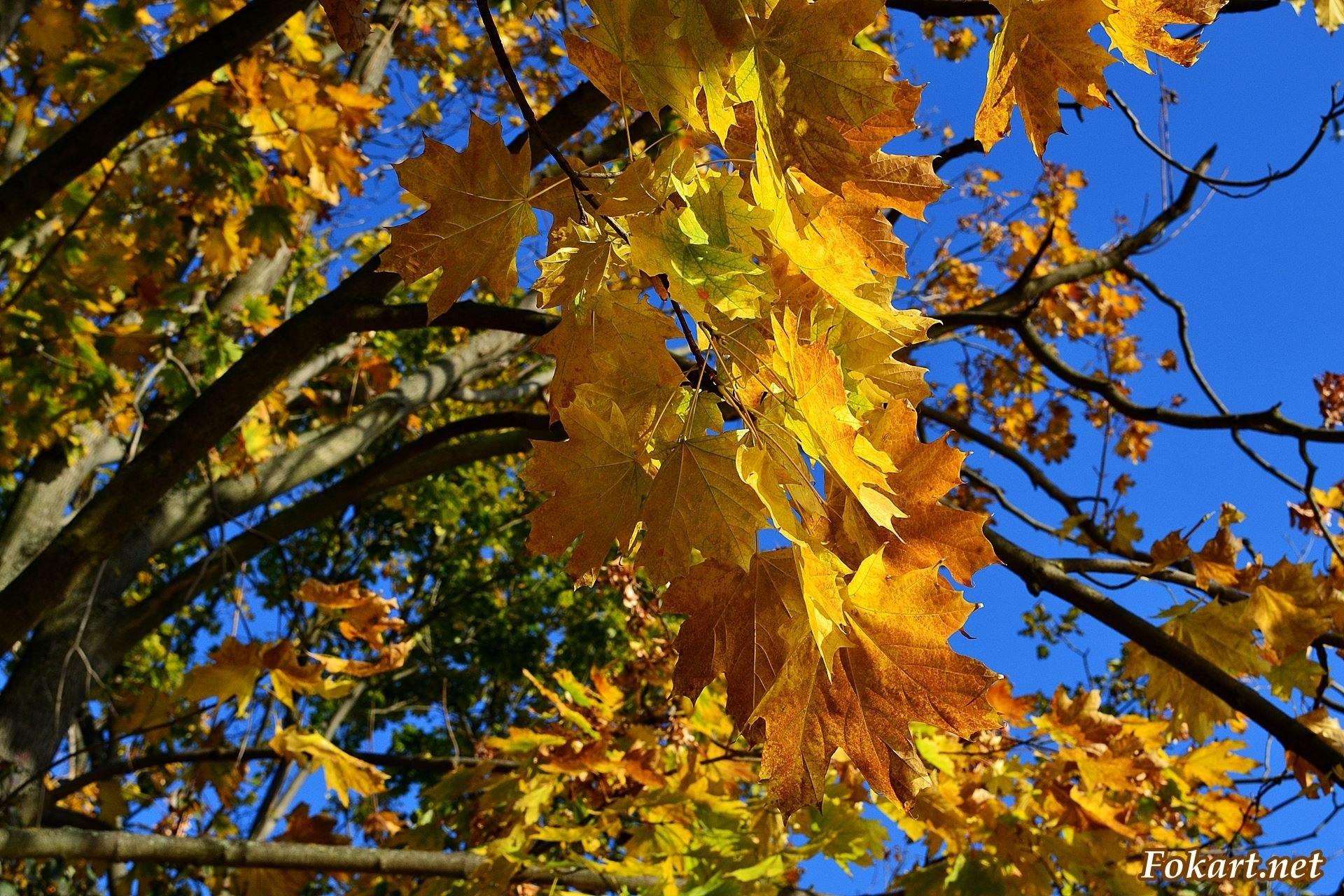 Живописность жёлто-рыжих кленовых листьев на фоне синего неба.