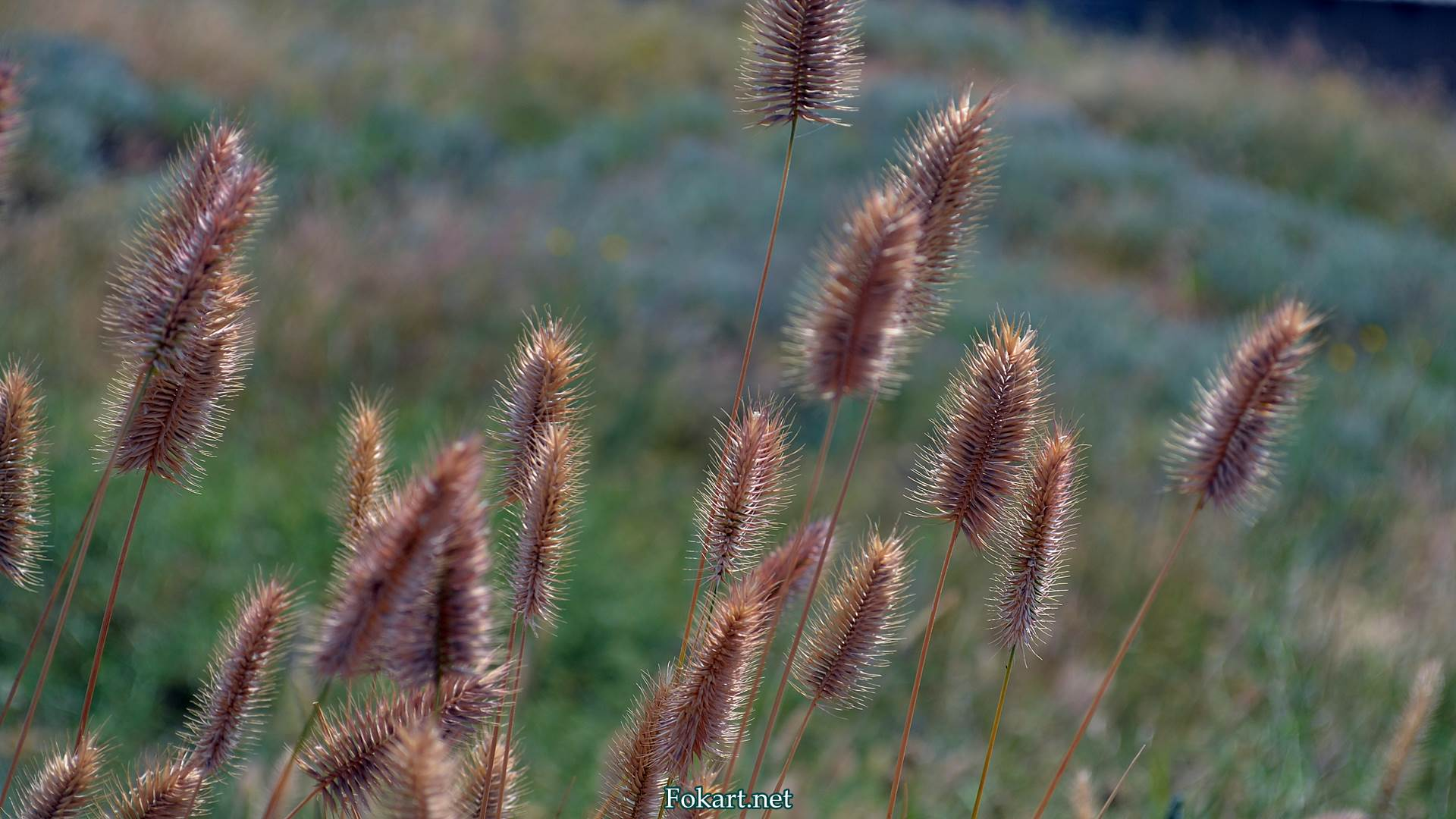 Колоски дикорастущей травы в июле. Мортук.