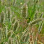 Колоски дикорастущей травы мортук в июне