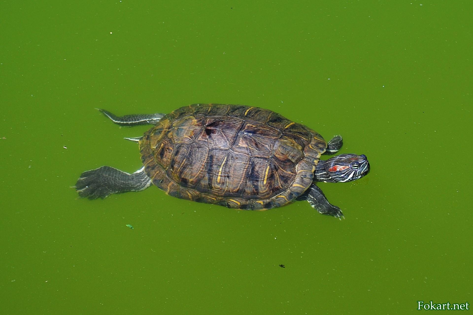 Красноухая черепаха плывёт