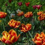 Красно-жёлтые махровые тюльпаны