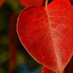 Ярко-красный осенний листок крупным планом