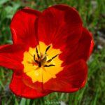 Красный тюльпан с тёмно-красными полосочками и жёлтой серединкой.