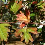 Листья боярышника однопестичного в сентябре