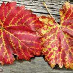 Яркие, осенние, красно-желтые листья винограда