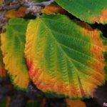 Красочные осенние листья гамамелиса