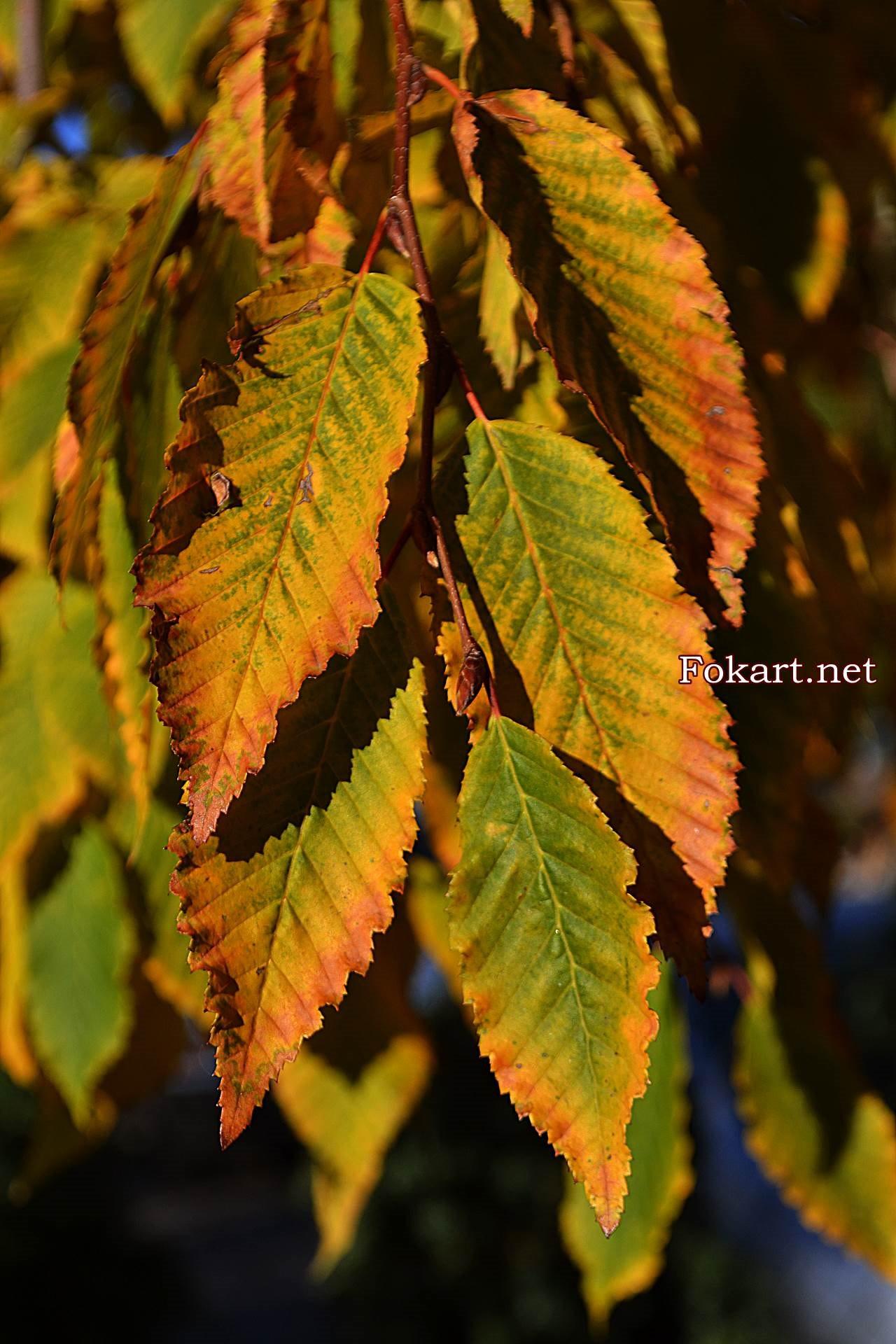 Осенние листья граба плакучего (Betulus pendula)