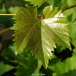 Виноградный лист ранним летним утром