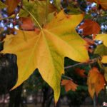 Рыжий лист платана с жёлтыми и зеленоватыми прожилками