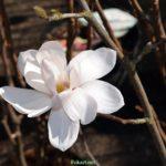 Магнолия Лебнера, цветок на ветке