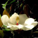 Цветок магнолии крупноцветковой