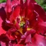 Махровый тюльпан малинового цвета