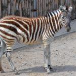 Молодая зебра Гранта