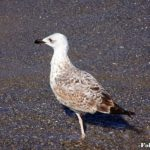 Молодая средиземноморская чайка шагает по мокрому песку