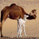 Самка одногорбого верблюда с малышом