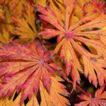 Осенние, оранжево-красные листья. Клен зеленый с рассеченными листьями ( Acer palmatum (Dissectum))