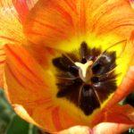 Оранжевый с жёлтым полосатый тюльпанчик с тёмной серединкой