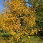 Небольшое осеннее дерево на всё ещё зелёной траве, усыпанной жёлтыми листьями и ярко-голубое небо