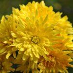 Жёлтая хризантемка напоминает солнышко