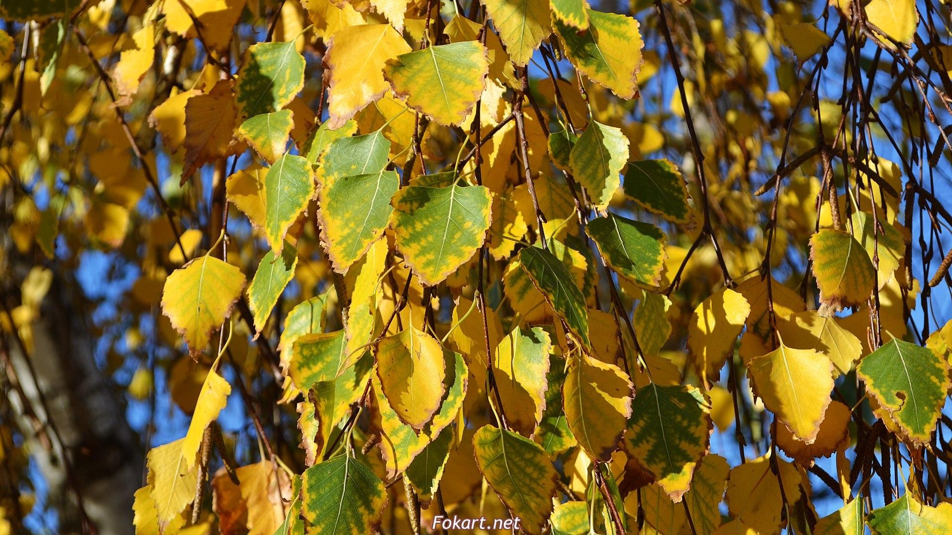Осенние листья берёзы