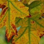 Жёлто-рыжие листья дуба с зелёными прожилками
