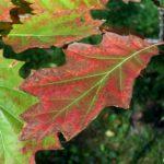 Разукрашенные осенью листья дуба