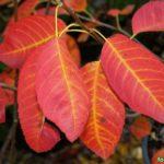 Ирга Ламарка (Amelanchier lamarkii), ирга крупноцветковая, особенно красива осенью.