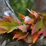 Немного ярких осенних листьев