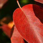 Красный осенний листок с прожилками