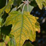 Осенний лист тополя серебристого