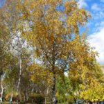Берёза в осеннем парке