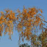 Наклонившаяся ветка высокой старой берёзы в осенней золотой листве