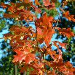 Осенняя ветка молодого дуба с ярко-рыжими листьями