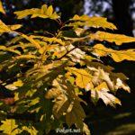 Осенняя ветка с желтыми листьями дуба.
