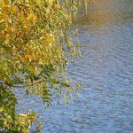 Софора осенью над блестящей гладью воды.