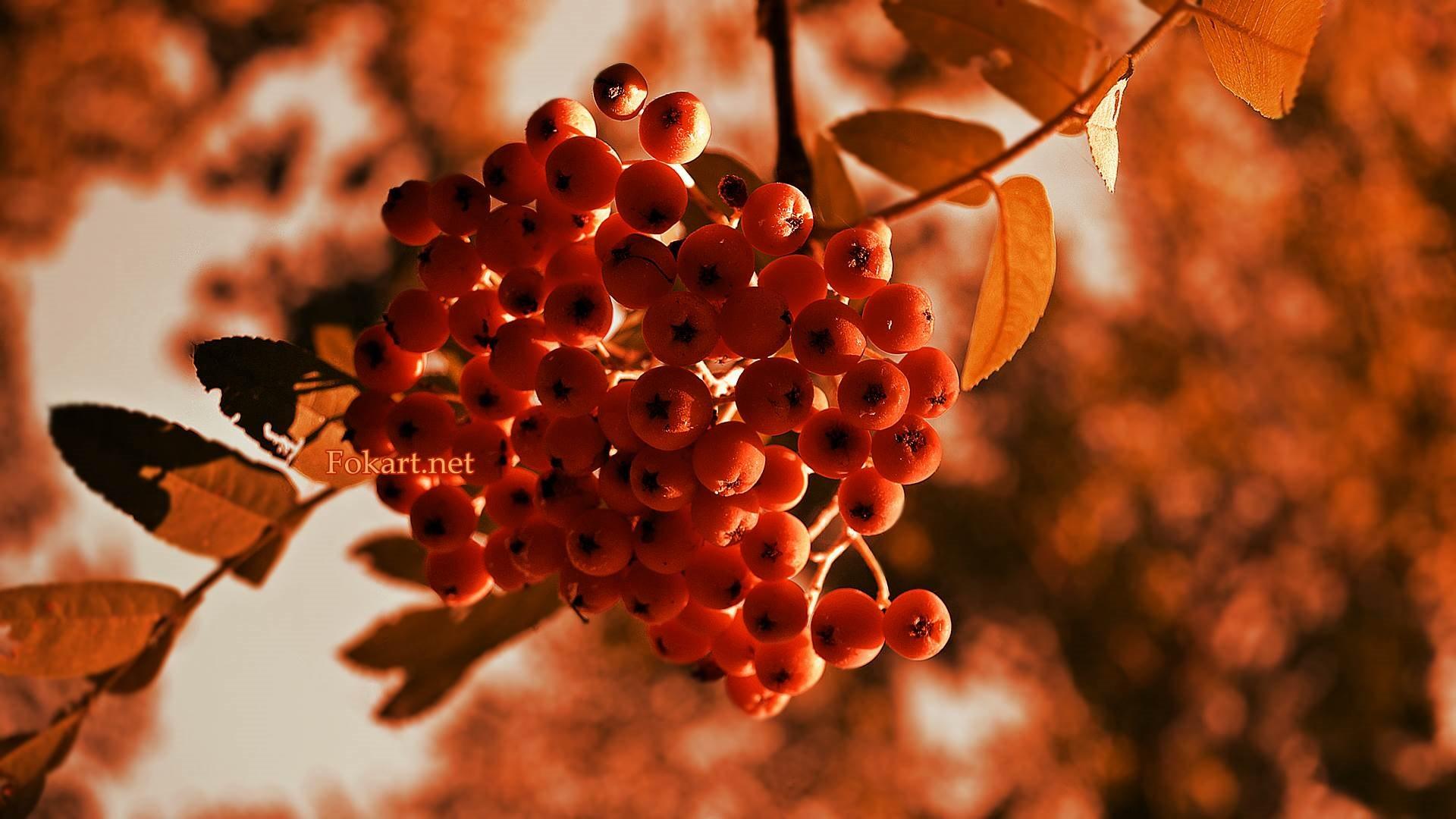 Гроздь рябины на рыжем фоне листьев.