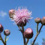 Розовый осот, или бодяк полевой (Cirsium arvense)